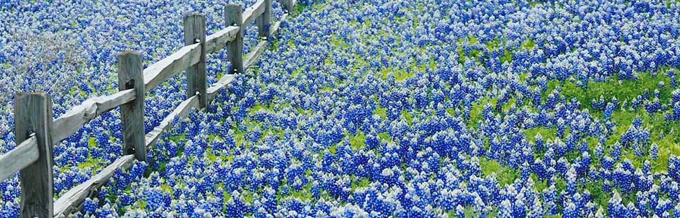 bluebonnets-slide4